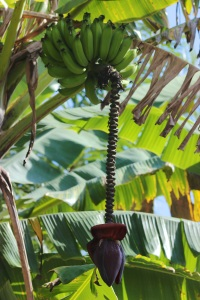 banana and plant